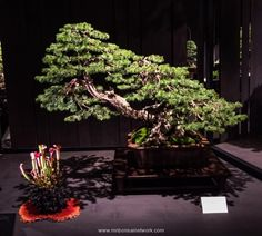 Todd Schlafer Colorado Blue Spruce Bonsai Photo by Naedoko Bonsai