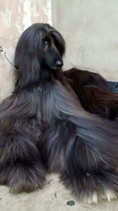 I grew up with a black Afghan Hound named Sir Alfred. Afghan Hound Puppy, Hound Dog, Pet Dogs, Dogs And Puppies, Dog Cat, Unusual Animals, Cute Animals, Black Afghan, Amazing Animal Pictures