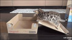 "gifsboom: ""Video: Bengal Kitten Traps Himself in Box """