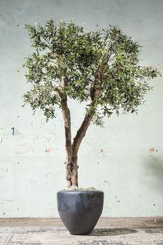 Echte olijfstam met zijde olijftakken. De oplossing voor olijfboom in huis. ROETS Modern Hippie, Olive Tree, Interior Exterior, Wabi Sabi, Garden Inspiration, Houseplants, Bonsai, Indoor Plants, Floral Arrangements