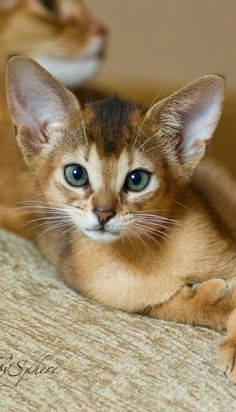 Wonderful Photographs cat breeds abyssinian Concepts Cats and kittens with huge eardrums might well always be one of the most cute creatures inside world. Most of these ver Pretty Cats, Beautiful Cats, Animals Beautiful, Pretty Kitty, I Love Cats, Crazy Cats, Abyssinian Kittens, Ragdoll Kittens, Tabby Cats