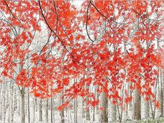 Red trees in Japan