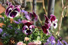 bratki Flowers, Plants, Balcony, Plant, Royal Icing Flowers, Flower, Florals, Floral, Planets