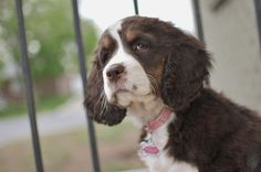 Polly, our English Springer Spaniel pooch!