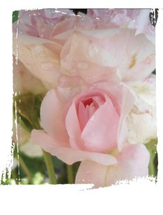 My Granny Pastels, Rose, Flowers, Plants, Pink, Plant, Roses, Royal Icing Flowers, Flower