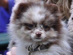 Pomeranian. it's so cute