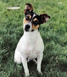The Rat Terrier originated by crossing numerous breeds including the old Fox Terrier, European Terriers and the Old English White Terrier. Teddy Roosevelt named this dog. This breed is hard working and known for its excellent ratting skills. One story says that a single Rat Terrier killed more than 2,501 rats in only seven hours in a barn overrun with rats.