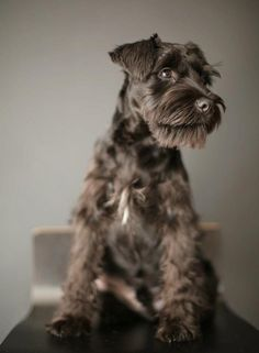 Ranked as one of the most popular dog breeds in the world, the Miniature Schnauzer is a cute little square faced furry coat. Schnauzers, Standard Schnauzer, Miniature Schnauzer Puppies, Schnauzer Puppy, Fox Terriers, Welsh Terrier, I Love Dogs, Cute Dogs, Adorable Puppies
