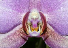 Phalaenopsis Orchidum Harlequin, by DansPhotoArt, via Flickr