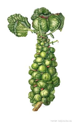 Sally Jacobs Botanical Art...exactly what I am looking for. I e-mailed her to ask for permission to use her artwork!