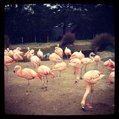 Framingo @ San Francisco Zoo