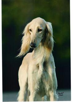 Saluki Dogs the next dog we get!