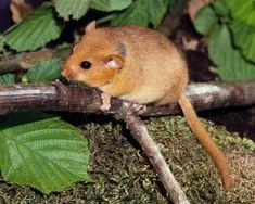 Dormouse (Muscardinus avellanarius)