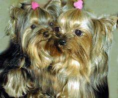 Yorkshire Terrier Yorki Yorkie Yorky Cachorro Fdp                                                                                                                                                                                 More