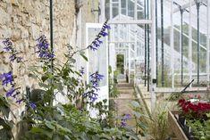 Salvia 'Costa Rican Blue'. Glasshouses-Great Miserden Nursery