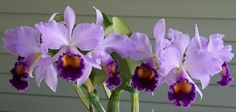 LC Dinard 'Blue Heaven' | Lc. Dinard 'Blue Heaven' - Orchid Board - Most Complete Orchid Forum ...