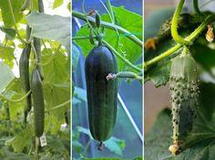 Hogyan termesszünk uborkát felfuttatva?