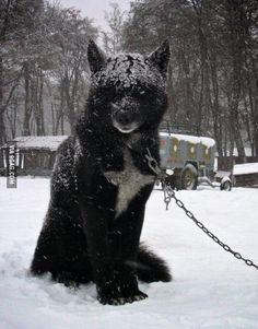 Black Wolf Hybrid... I want!!! - From Top 100 Rad Want pics, photos and memes. - SillyCool