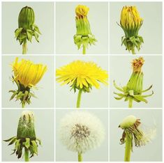 Find Growth Period stock images in HD and millions of other royalty-free stock photos, illustrations and vectors in the Shutterstock collection. Dandelion Leaves, Dandelion Flower, Dandelions, Botanical Art, Botanical Illustration, What Is A Product, Product Life, Dandelion Drawing, Cycling Art