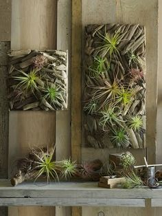 Drift wood with air plants.  Love the combo of textures.