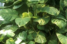 Golden Pothos Vine (Epipremnum pinnatum) --Easy to Grow Houseplant
