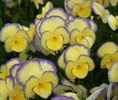 Viola 'Judy Goring'