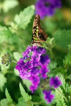 Graphium Agmemnon (Tailed Jay)