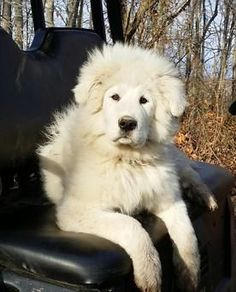 Working styles of livestock guardian Maremma Dog, Maremma Sheepdog, Pyrenees Puppies, Great Pyrenees Puppy, Baby Puppies, Dogs And Puppies, Collie, Mountain Dogs, Working Dogs