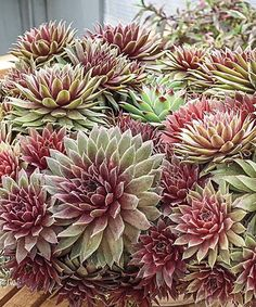 Love this Ruby Heart Hens & Chicks Succulent Bare Root - Set of Three by Breck's on #zulily! #zulilyfinds