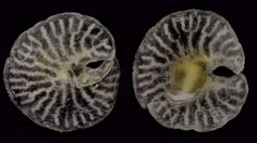 They resemble organisms from the Ediacaran Period, many of which were thought to be evolutionary dead-ends