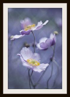Anemone beautiful stout little bloom. Purple Flowers, Wild Flowers, Beautiful Flowers, Lavender Flowers, Colorful Roses, Cut Flowers, Anemone Du Japon, Shades Of Purple, Purple Sage