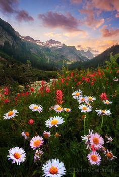 Daisy Sunset by Danny Seidman on 500px.... #cascades #daisies #glacier peak wilderness #meadow #mountains #northwest #paintbrush