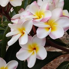 Plumeria Flower-The sole mention of Hawaii probably makes you think about fragrant and beautiful plumeria flower. Although they grow rampantly across all Hawaiian Island, many people are very surprised to learn they are not actually a native flower.  German botanist introduced the plumeria to Hawaii on 1860. These flowers thrive in volcanic soils and tropical climates, and they exist in several varieties.  For example, Hawaiian women use the exotic plumeria (also known as frangipanis) on…