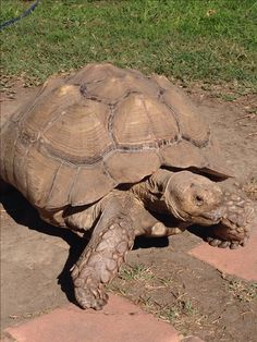 Kingsley the Sulcata tortoise