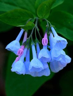 Virginia Bluebells- native to moist woodland in eastern North America. Zone 3 hardy Photograph by Bernie Kasper RFK Photography