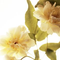 Rosas Art - Climbing Rose (rosa Sp.)  by Cristina Pedrazzini