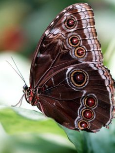Chocolate coloured  butterfly