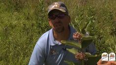 Importance of Milkweed Habitat Tip