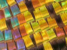Scales of a butterfly wing.