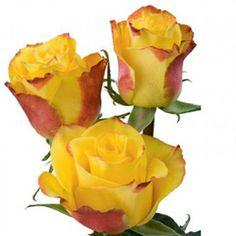 Rose High Yellow Magic