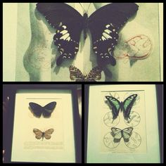Oddities | butterflies taxidermy
