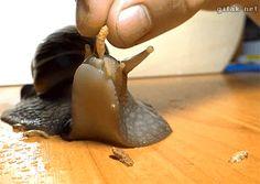 Snail-eating, gif