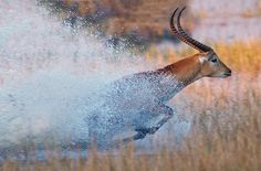 Red Lechwe, Okabango Delta, Botswana / by Sean Crane on 500px