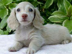 Blue Dapple Dachshund @doggieinstyle