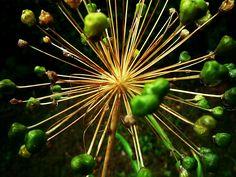 Garlic - Nature