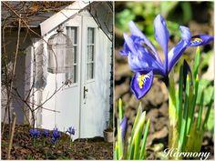 """""""Von der Iris reticulata 'Harmony' kann ich nie genug kriegen. Deshalb pflanze ich jeden Herbst einige neue Zwiebeln."""" - aus dem Blog """"Garten am Engerain"""""""