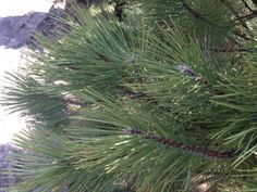 The Austrian Pine tree is an, evergreen conifer with dark-green needles, and dense foliage. It is adaptable to urban conditions and grows 2 ft per year on average.   Great choice for a quick windbreak. Tolerates a wide variety of temperatures and soil types.   http://hoosierhomeandgarden.com/austrian-pine-trees/