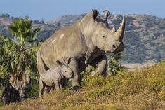 https://flic.kr/p/TMudos | Kiazi's Ray of Hope | We have more good news this Endangered Species Day. After 16 years of infertility, Kiazi finally gave birth! Her little ray of hope is more proof that our scientists may have solved a riddle of southern white rhino reproduction. Details ➡️ www.bit.ly/2rAqF9O