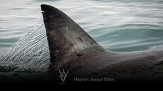 """One of the most amazing photos of water being shed from the dorsal fin and back of a white shark as it breaks the surface at high speed.  This photo is a great indicator of how this ancient predator is one with the ocean. Current prints available in the size of W: 14"""" x H: 7 7/8""""  All text is removed for your prints and only appears online for copyright protection. Photograph taken in South Africa by WSV cameraman Maarten Joseph Billen"""