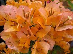 Bougainvillée orange - Le Cannet